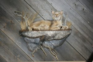 Bobcat - Lundgren's Taxidermy