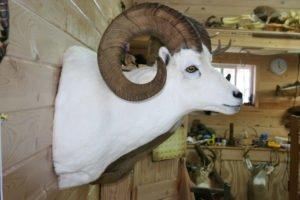Dahl Sheep - Lundgren's Taxidermy