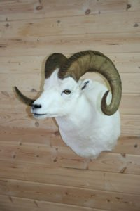 Dahl Sheep - Lundgren's Taxidermy