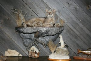 Bobcat - Lundgren's Taxidermy