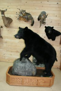 Black bear - Lundgren's Taxidermy