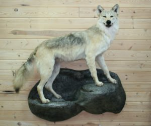 Wolf - Lundgren's Taxidermy
