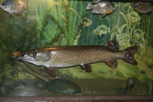 Northern Pike - Lundgren's Taxidermy