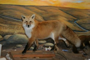Red fox - Lundgren's Taxidermy