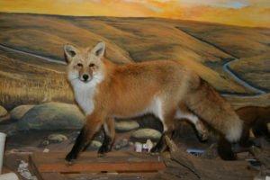 Red fox - Lundgren's Taxidermy