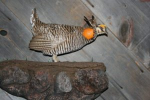 Prairie Chicken - Lundgren's Taxidermy