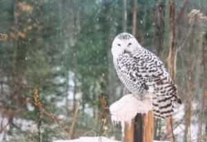 Snowy Owl - Lundgren's Taxidermy