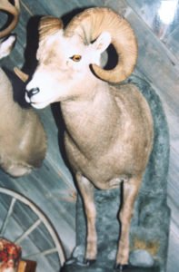 Bighorn Sheep - Lundgren's Taxidermy