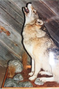 Coyote - Lundgren's Taxidermy