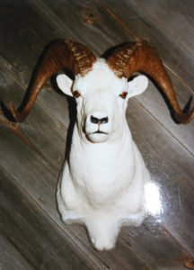 Dall Sheep - Lundgren's Taxidermy