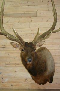Elk - Lundgren's Taxidermy