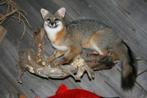 Gray fox - Lundgren's Taxidermy