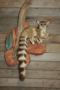 Ringtail - Lundgren's Taxidermy