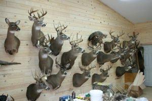 Wall of Deerhead - Lundgren's Taxidermy