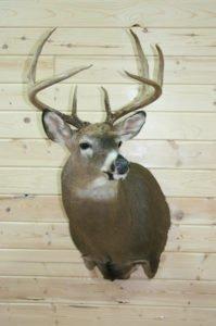 Whitetail Deer - Lundgren's Taxidermy